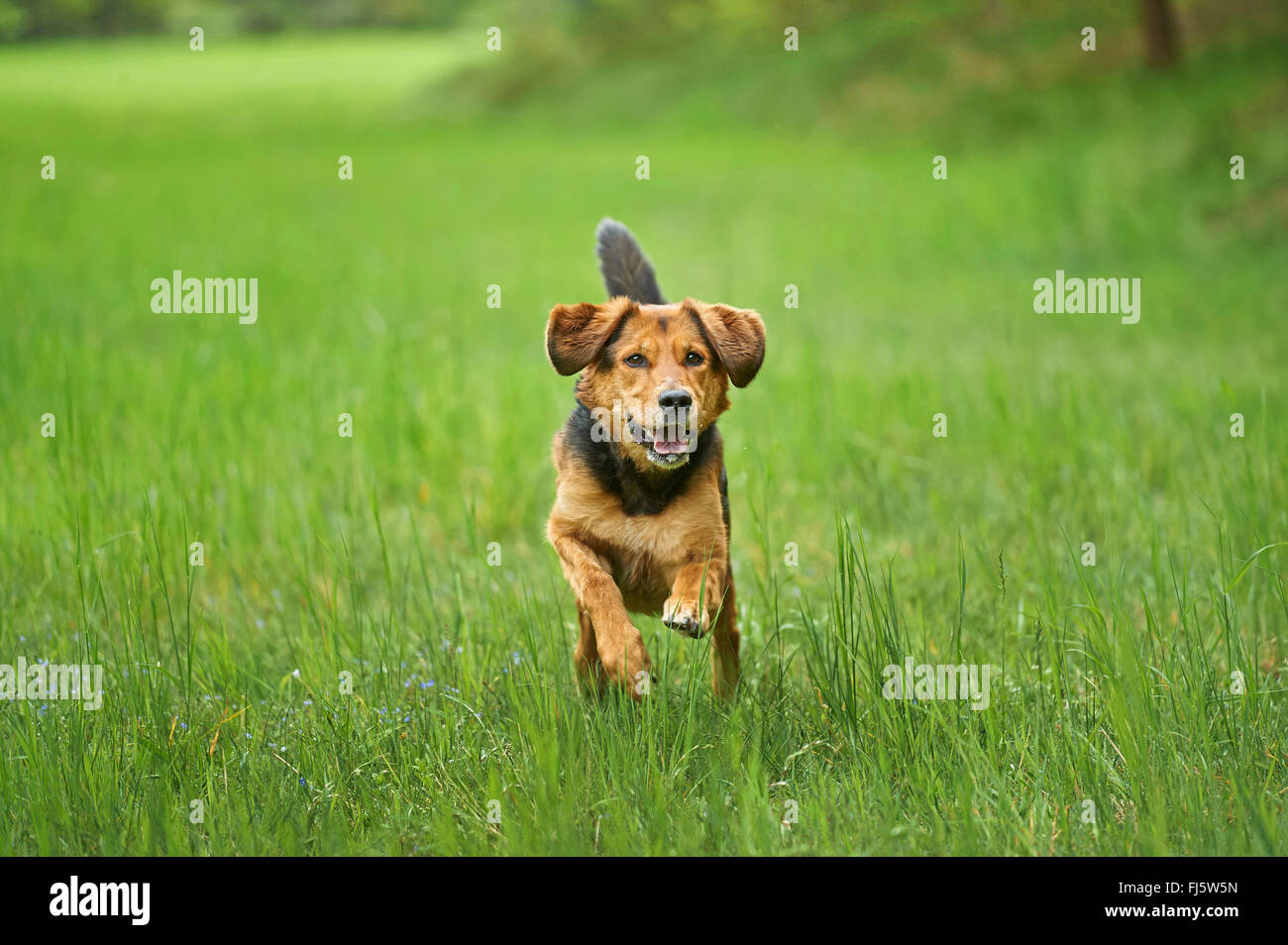 mixed breed dog (Canis lupus f. familiaris), mixed breed dog walking in a meadow, Germany - Stock Image