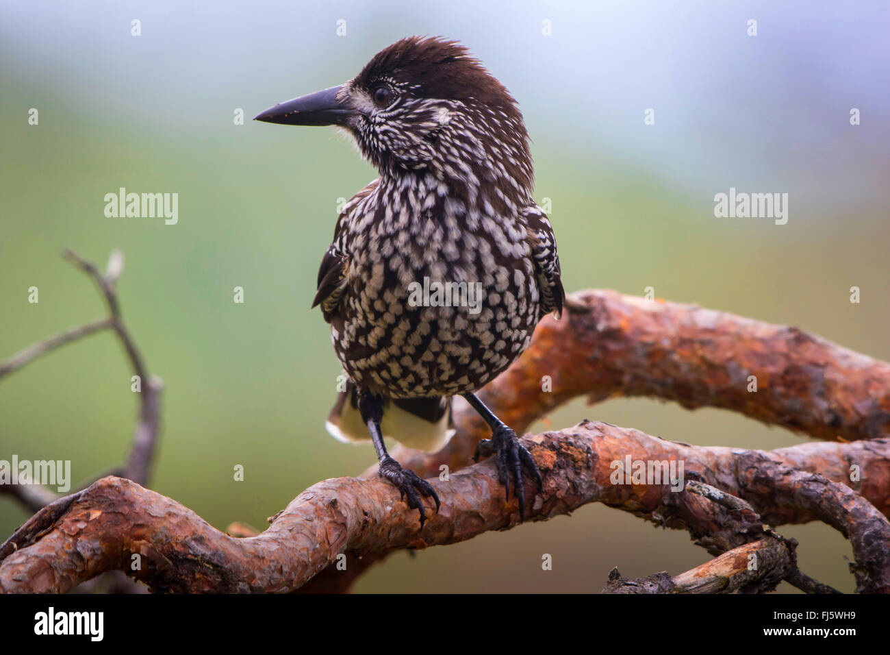 spotted nutcracker (Nucifraga caryocatactes), sits on a branch in forest, Norway, Trondheim - Stock Image