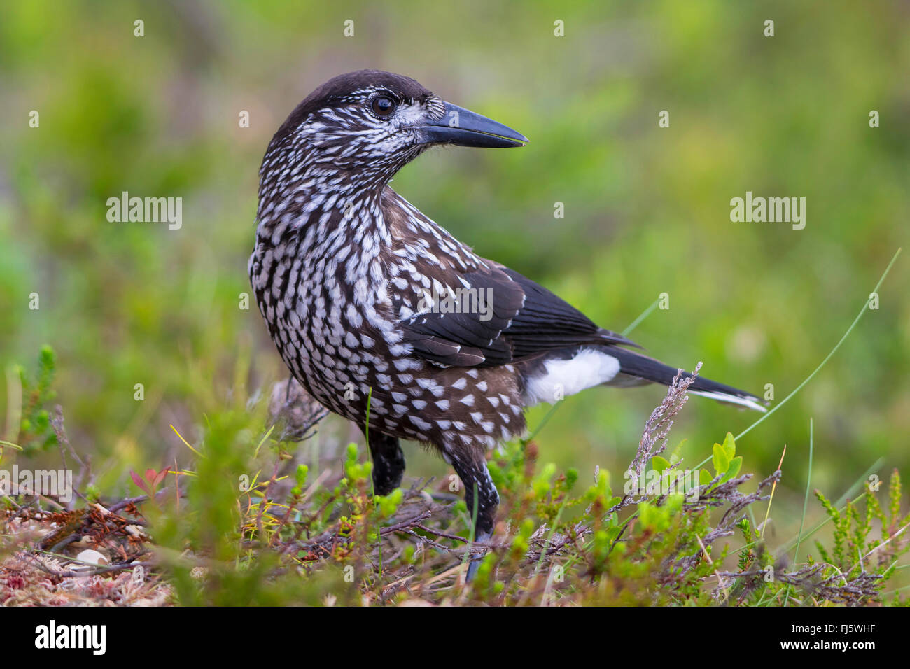 spotted nutcracker (Nucifraga caryocatactes), on the feed on the ground, Norway, Trondheim - Stock Image
