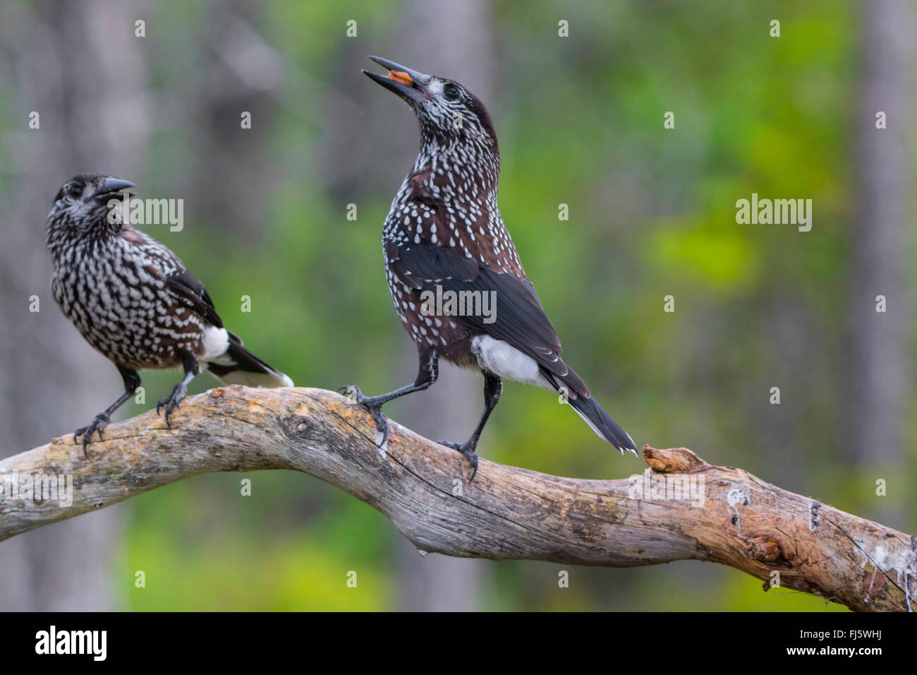 spotted nutcracker (Nucifraga caryocatactes), two spotted nutcrackers on a branch on the feed, Norway, Trondheim - Stock Image