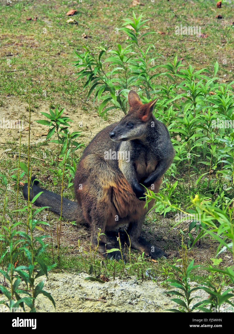 swamp wallaby, black-tail wallaby (Wallabia bicolor), side glance - Stock Image
