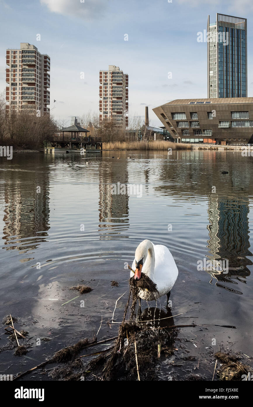 London, UK. 29th February, 2016. Swan nest building begins on Canada Water pond Credit:  Guy Corbishley/Alamy Live - Stock Image
