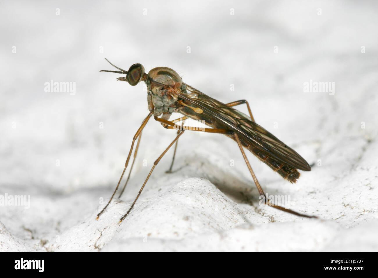 common window gnat, common window midge (Sylvicola fenestralis), on snow, Germany - Stock Image