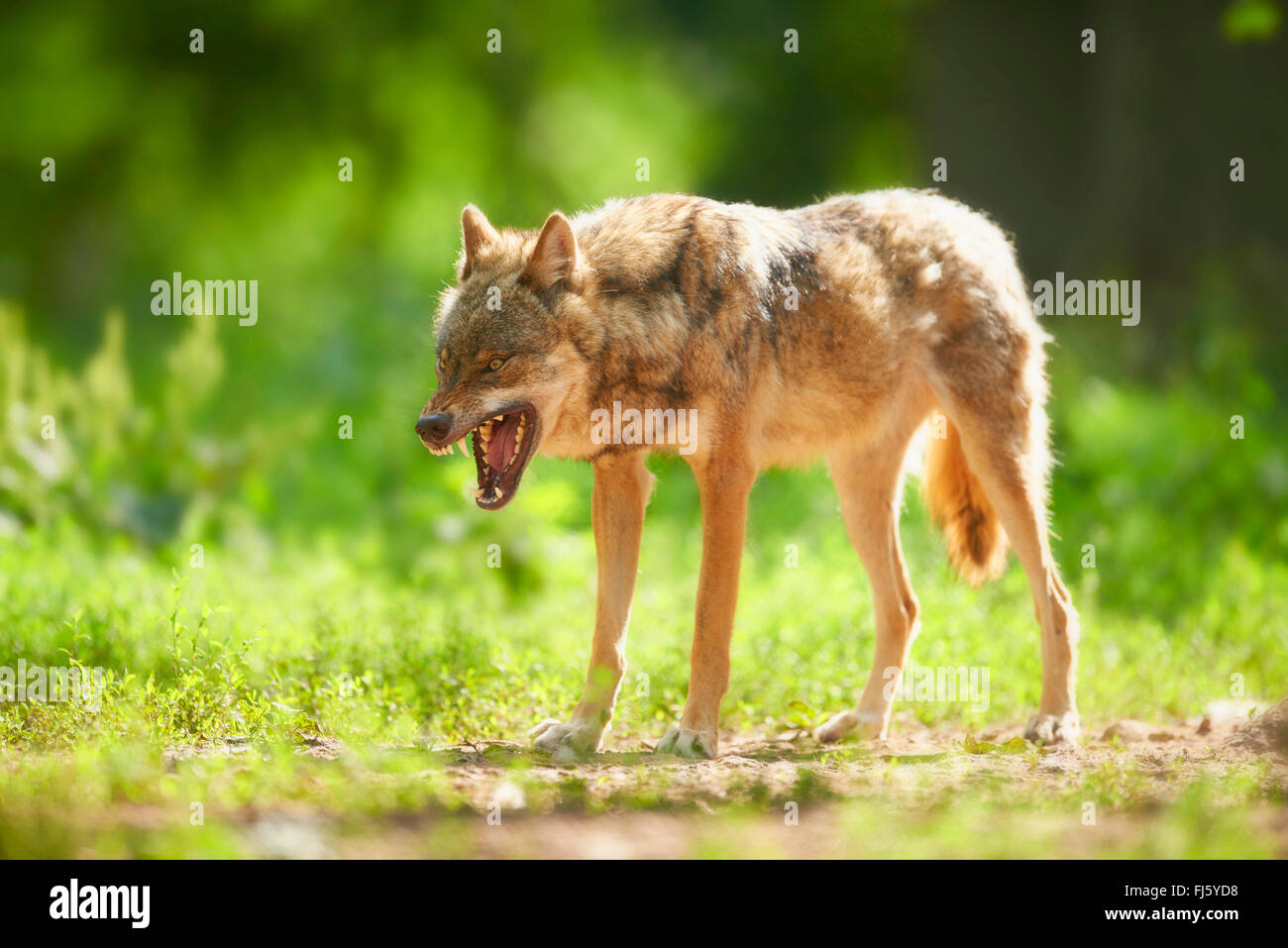European gray wolf (Canis lupus lupus), wolf displaying teeth, Germany, Bavaria - Stock Image