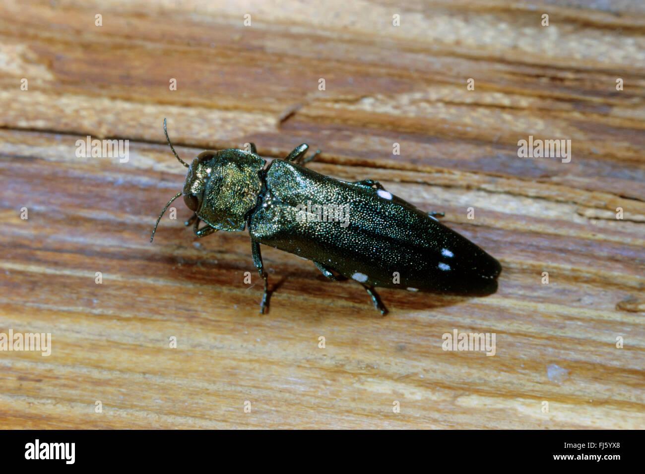 Oak splendor beetle, Oak splendour beetle, Two spotted oak buprestid (Agrilus biguttatus), on wood, Germany Stock Photo