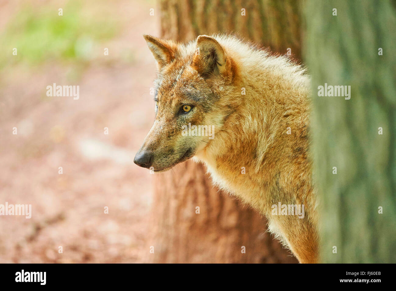 European gray wolf (Canis lupus lupus), portrait of a wolf between two stems, Germany, Bavaria - Stock Image