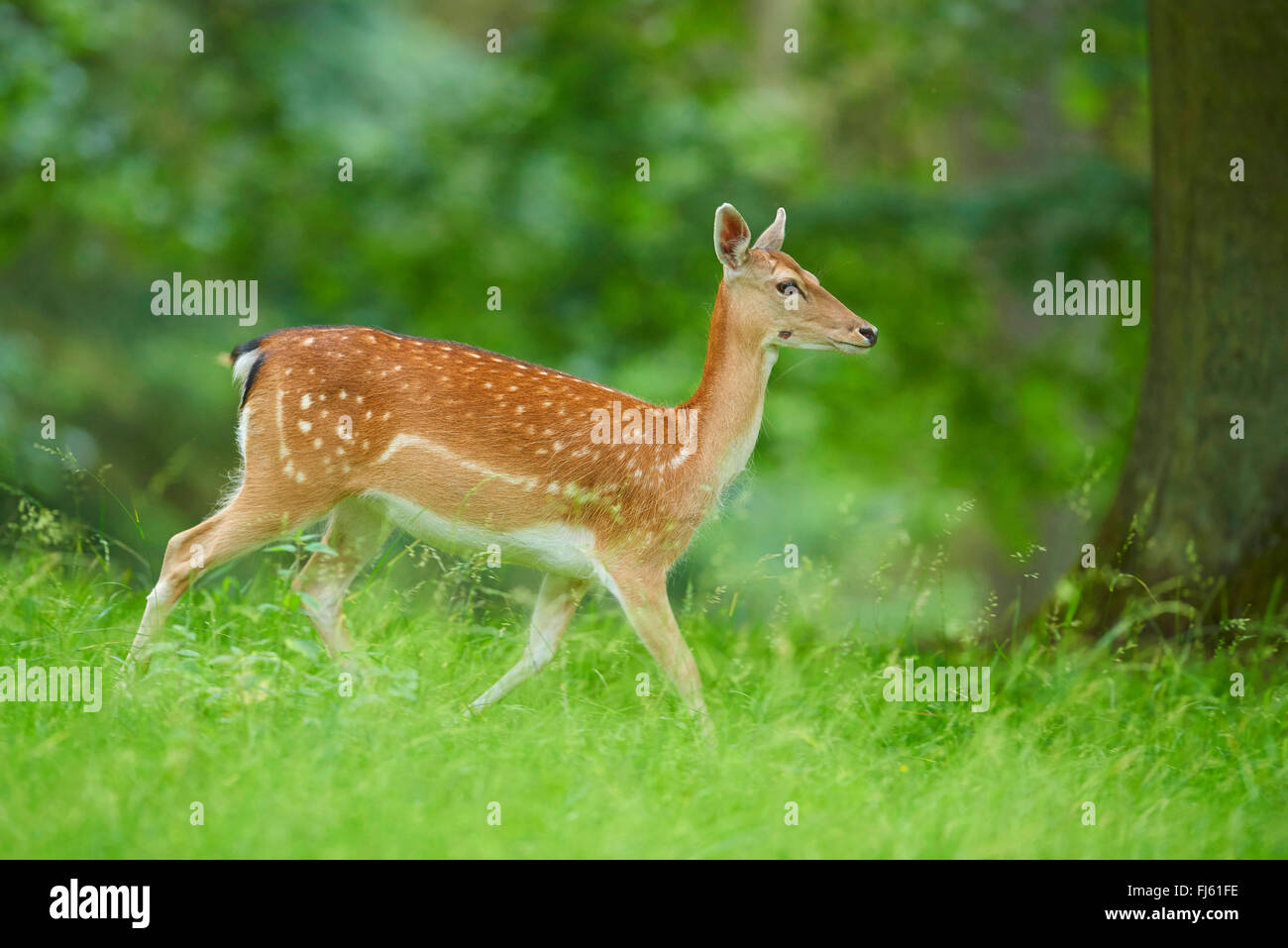 fallow deer (Dama dama, Cervus dama), hind in a meadow, Germany, Bavaria - Stock Image