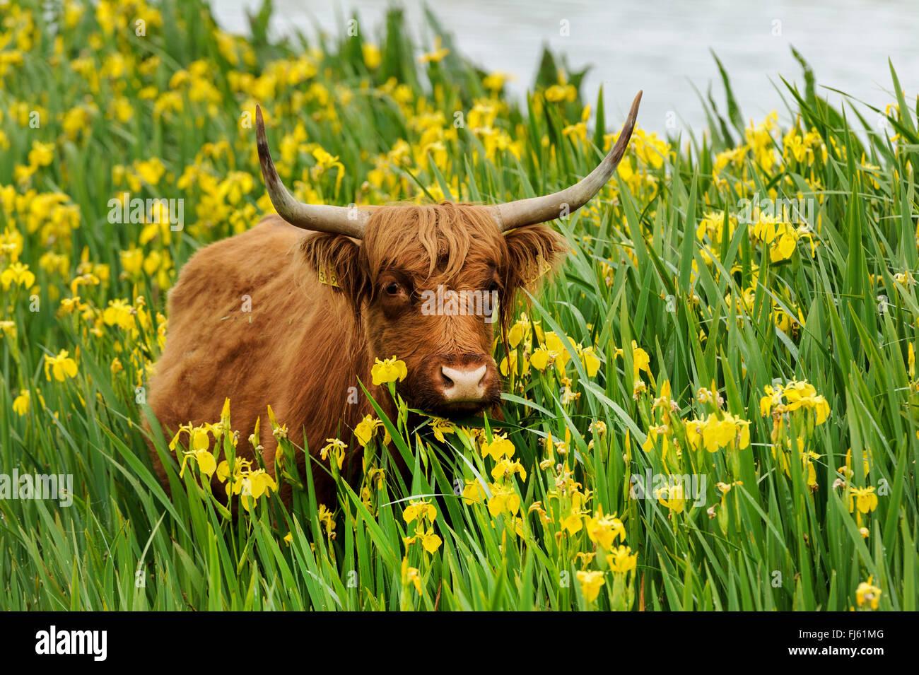 Scottish Highland Cattle, Kyloe (Bos primigenius f. taurus), in a population of yellow iris (Iris pseudacorus), - Stock Image
