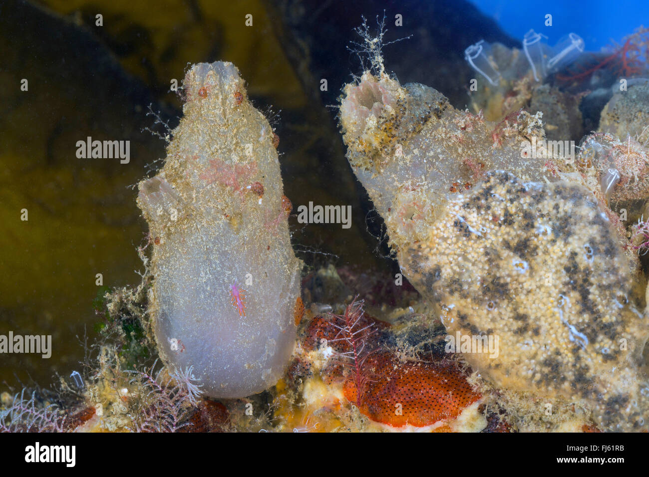 rough sea-squirt (Ascidiella aspersa, Ascidia aspersa), two rough sea-squirts - Stock Image