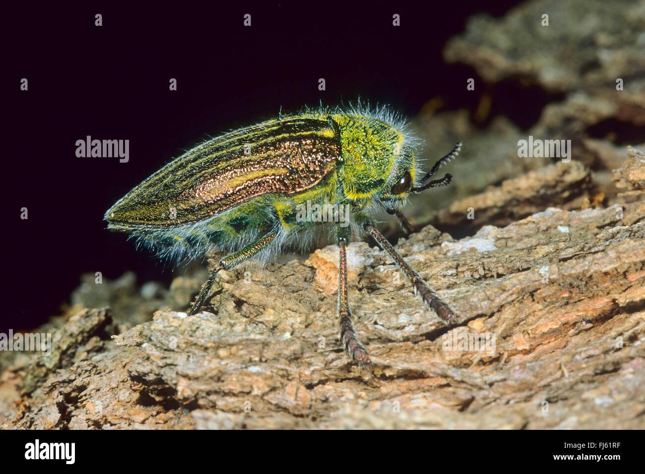 jewel beetle (Julodis pubescens subsp. yveni, Julodis pubescens subsp. iveni, Julodis pubescens yveni), on wood - Stock Image