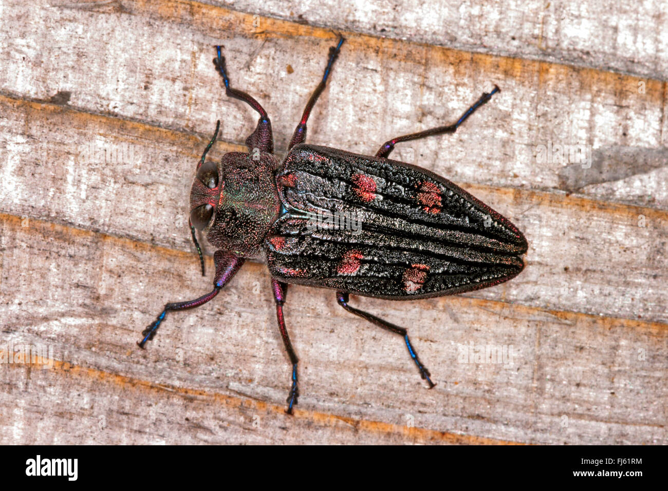 Flatheaded borer (Chrysobothris chrysostigma), on wood, Germany - Stock Image