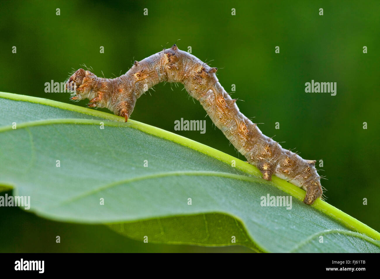 Pale brindled beauty (Apocheima pilosaria, Phigalia pilosaria), caterpillar creeps on a leaf, Germany - Stock Image