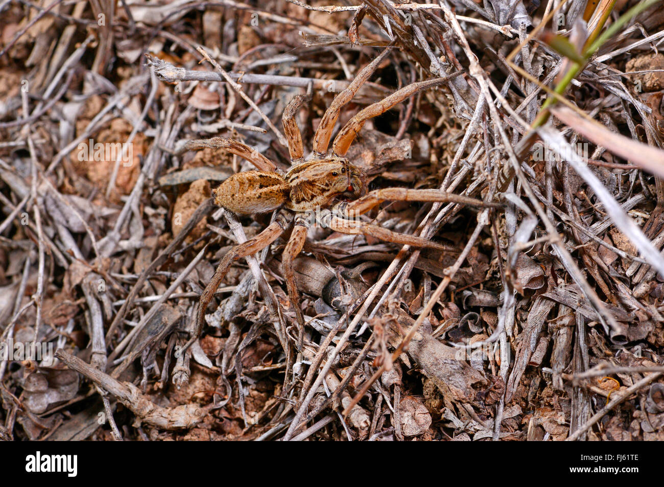 wolf spiders, ground spiders (Lycosidae), on the ground, Madagascar - Stock Image