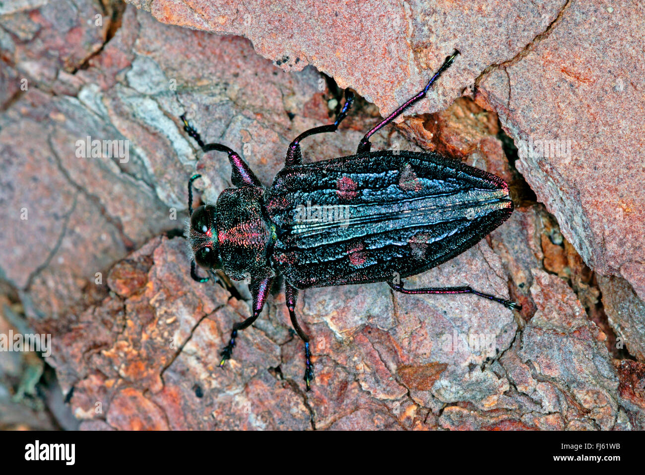 Flatheaded borer (Chrysobothris chrysostigma), on bark, Germany - Stock Image