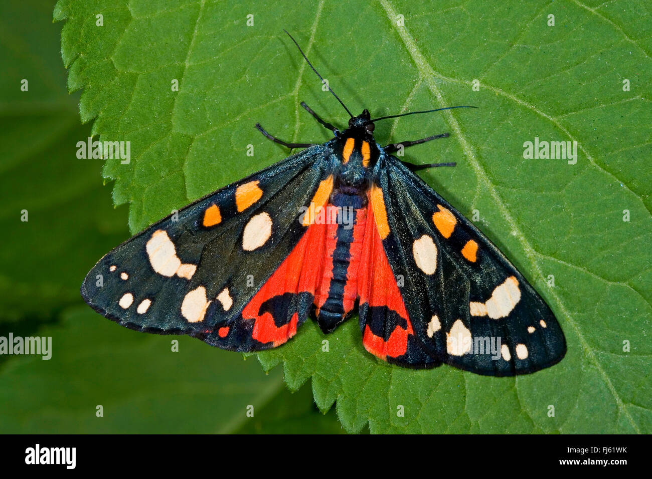 scarlet tiger (Callimorpha dominula, Panaxia dominula), sits on a leaf, Germany - Stock Image