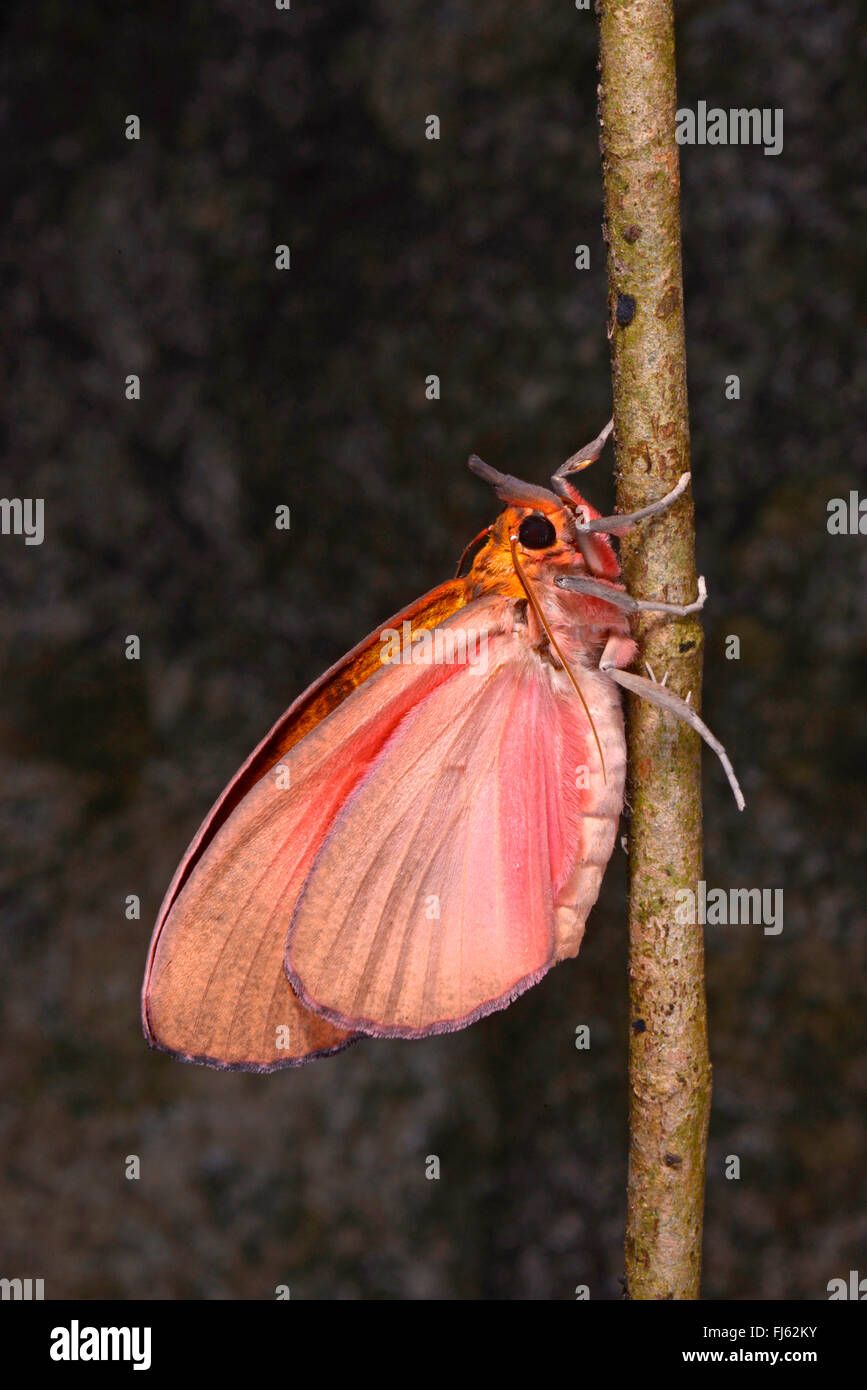 tropical butterfly in Madagascar, Madagascar, Nosy Be, Lokobe Reserva - Stock Image