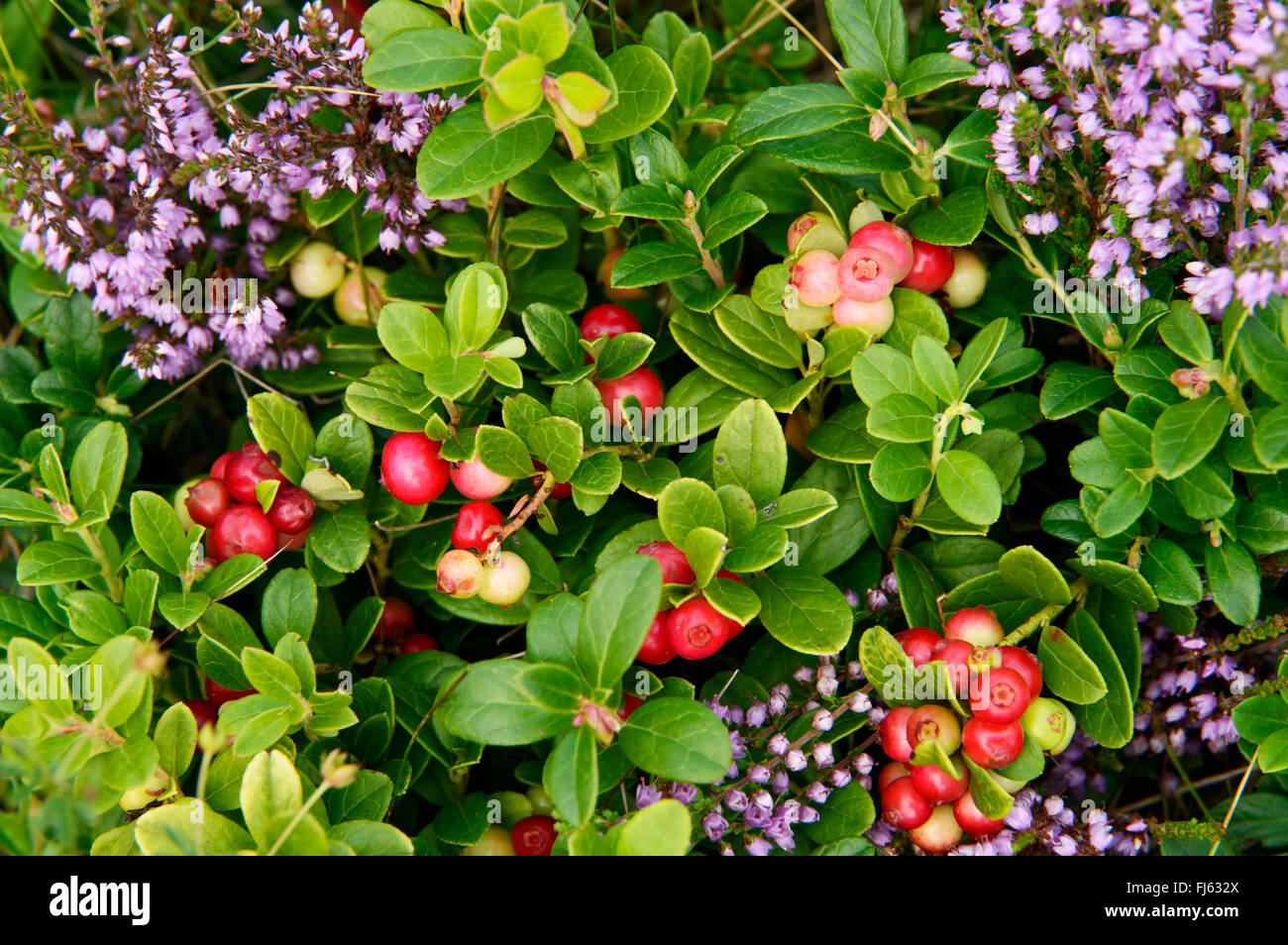 cowberry, foxberry, lingonberry, mountain cranberry (Vaccinium vitis-idaea), fruiting among blooming heath, Germany, - Stock Image