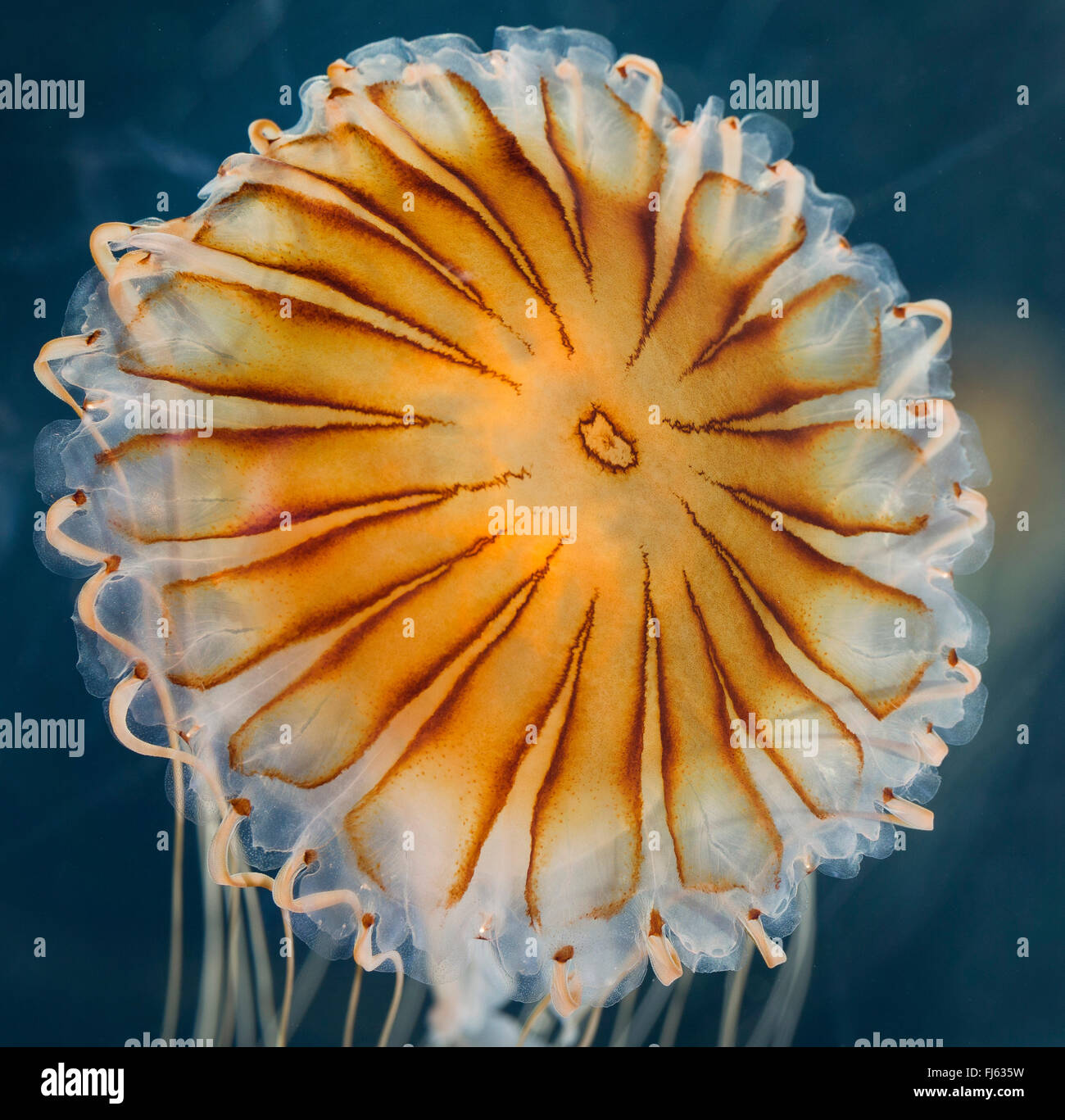 compass jellyfish, red-banded jellyfish (Chrysaora hysoscella), floating in water Stock Photo