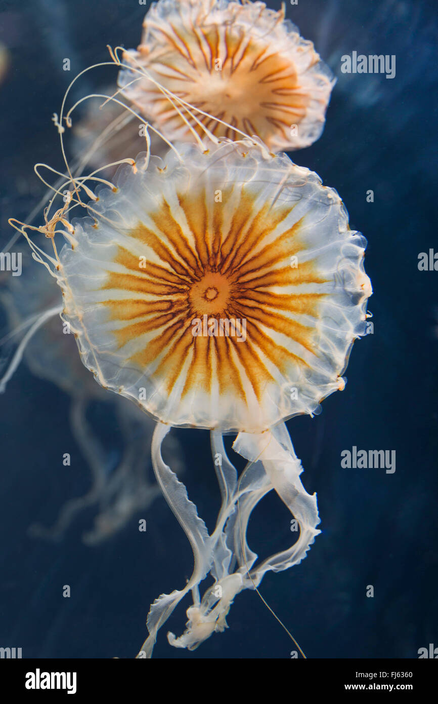 compass jellyfish, red-banded jellyfish (Chrysaora hysoscella), two compass jellyfishes Stock Photo