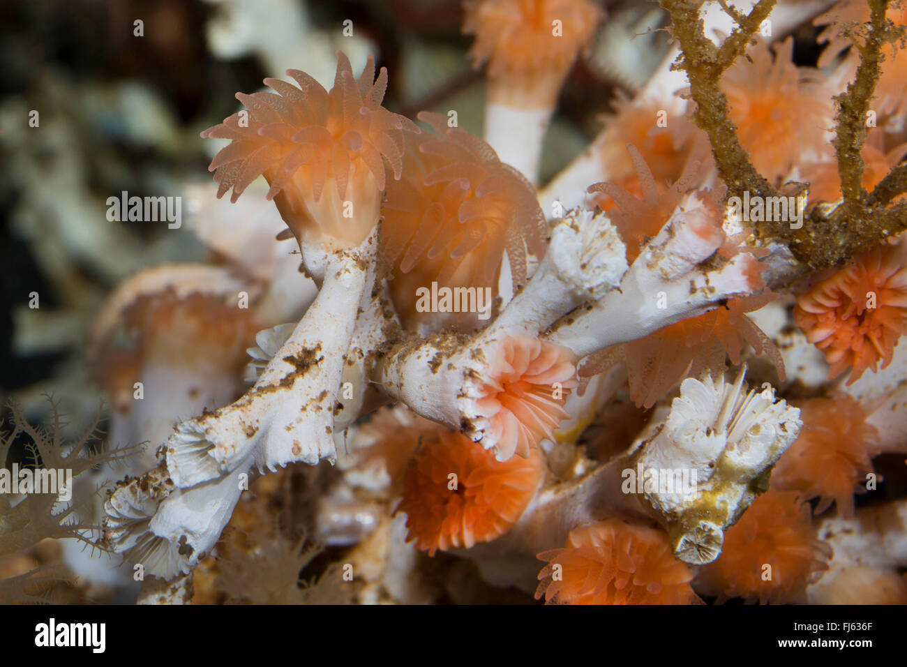 eye coral, cold-water coral, spider hazards (Lophelia pertusa, Madrepora pertusa), close-up view - Stock Image