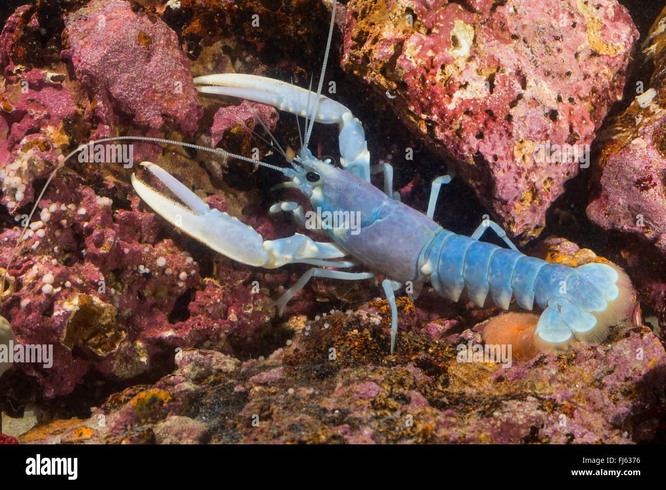 common lobster, European clawed lobster, Maine lobster (Homarus gammarus, Homarus vulgaris), on stones - Stock Image
