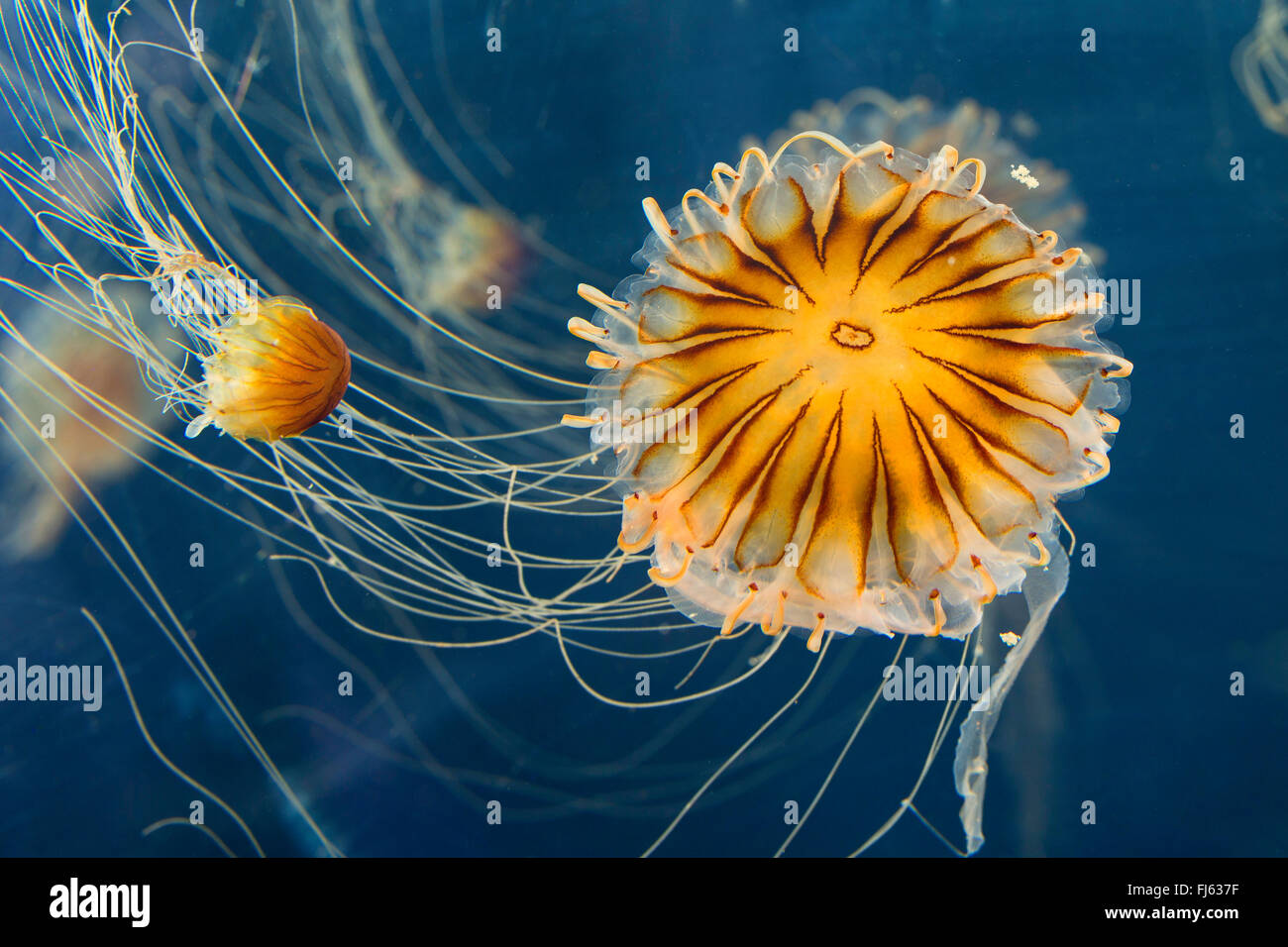 compass jellyfish, red-banded jellyfish (Chrysaora hysoscella), two compass jellyfishes - Stock Image