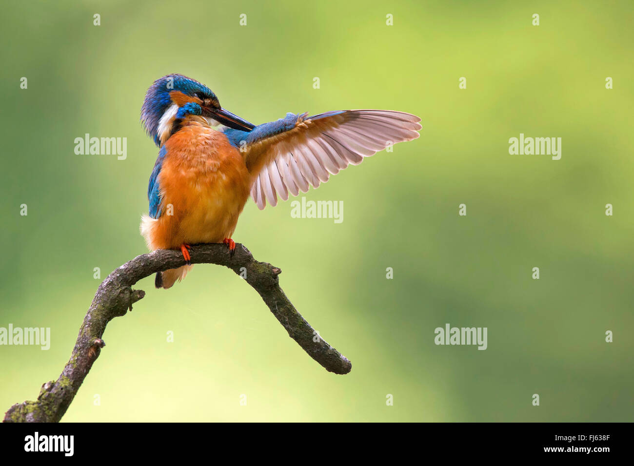 river kingfisher (Alcedo atthis), cares of its plumage, Germany, North Rhine-Westphalia - Stock Image