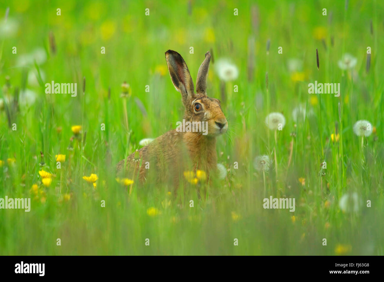 European hare, Brown hare (Lepus europaeus), sits in a spring meadow, Germany - Stock Image
