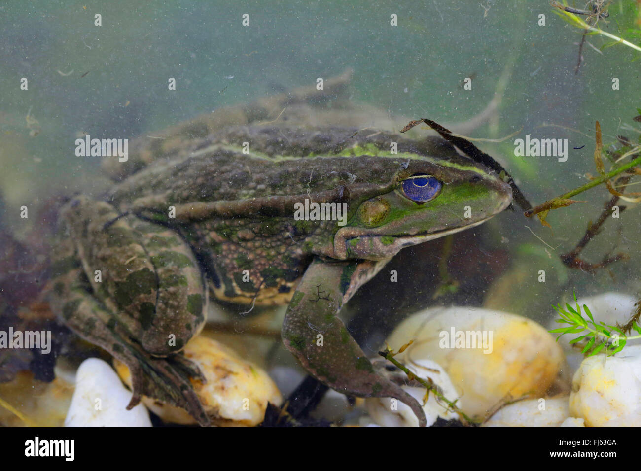 marsh frog, lake frog (Rana ridibunda, Pelophylax ridibundus), on the ground of a pond, Germany, Bavaria - Stock Image