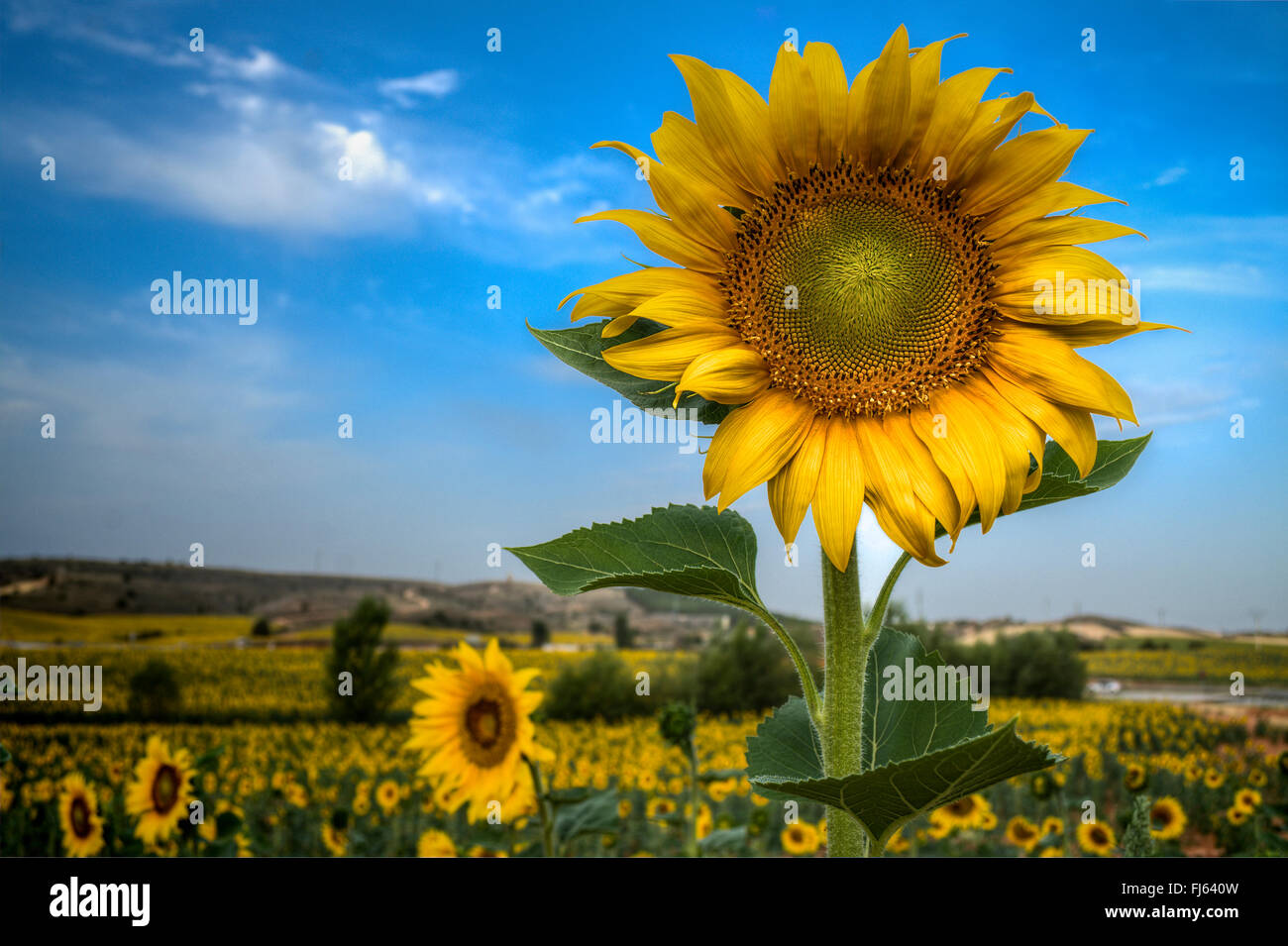 Sunflowers in the fields of Soria, Castilla Leon, Spain - Stock Image