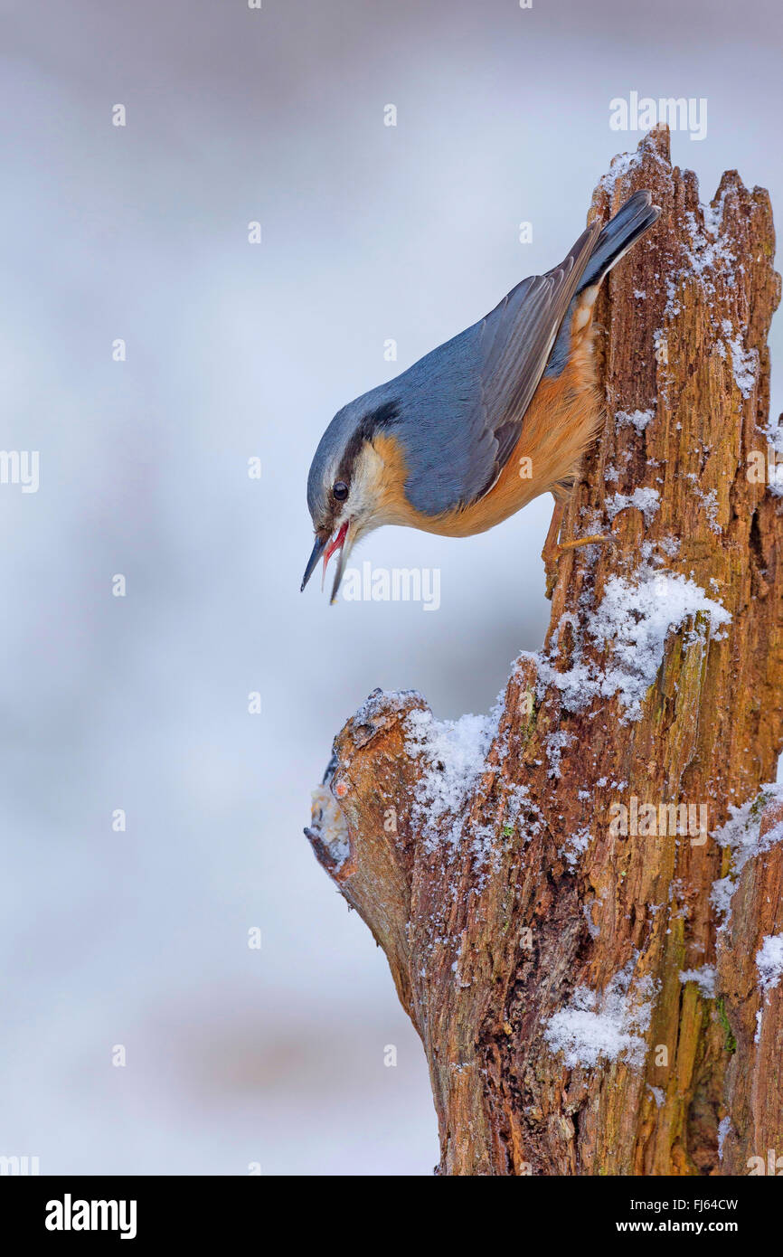 Eurasian nuthatch (Sitta europaea), sitting upside down at a dead tree trunk in winter, Germany - Stock Image