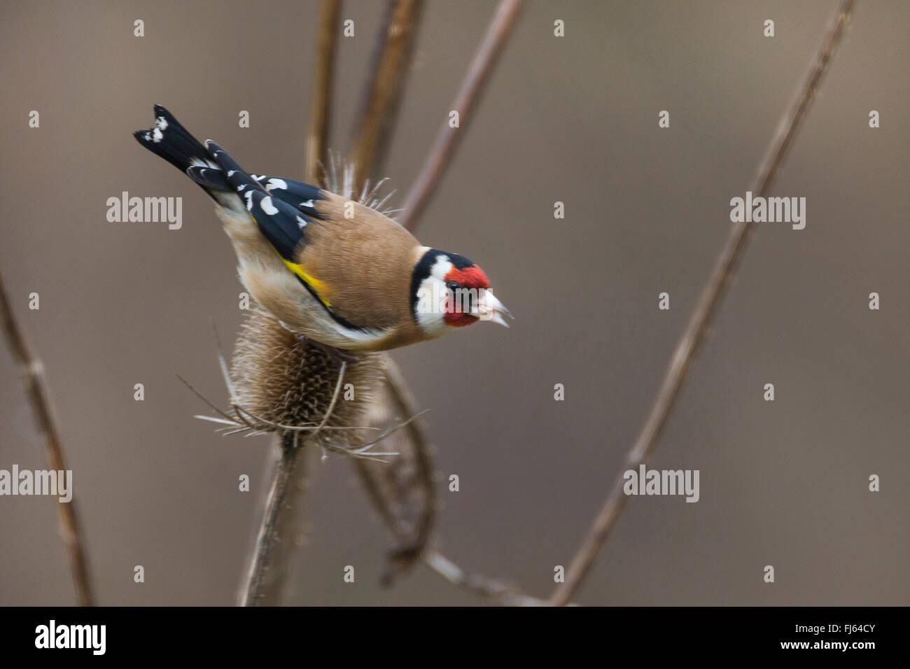 Eurasian goldfinch (Carduelis carduelis), feeding ob seeds of teazle, Germany - Stock Image