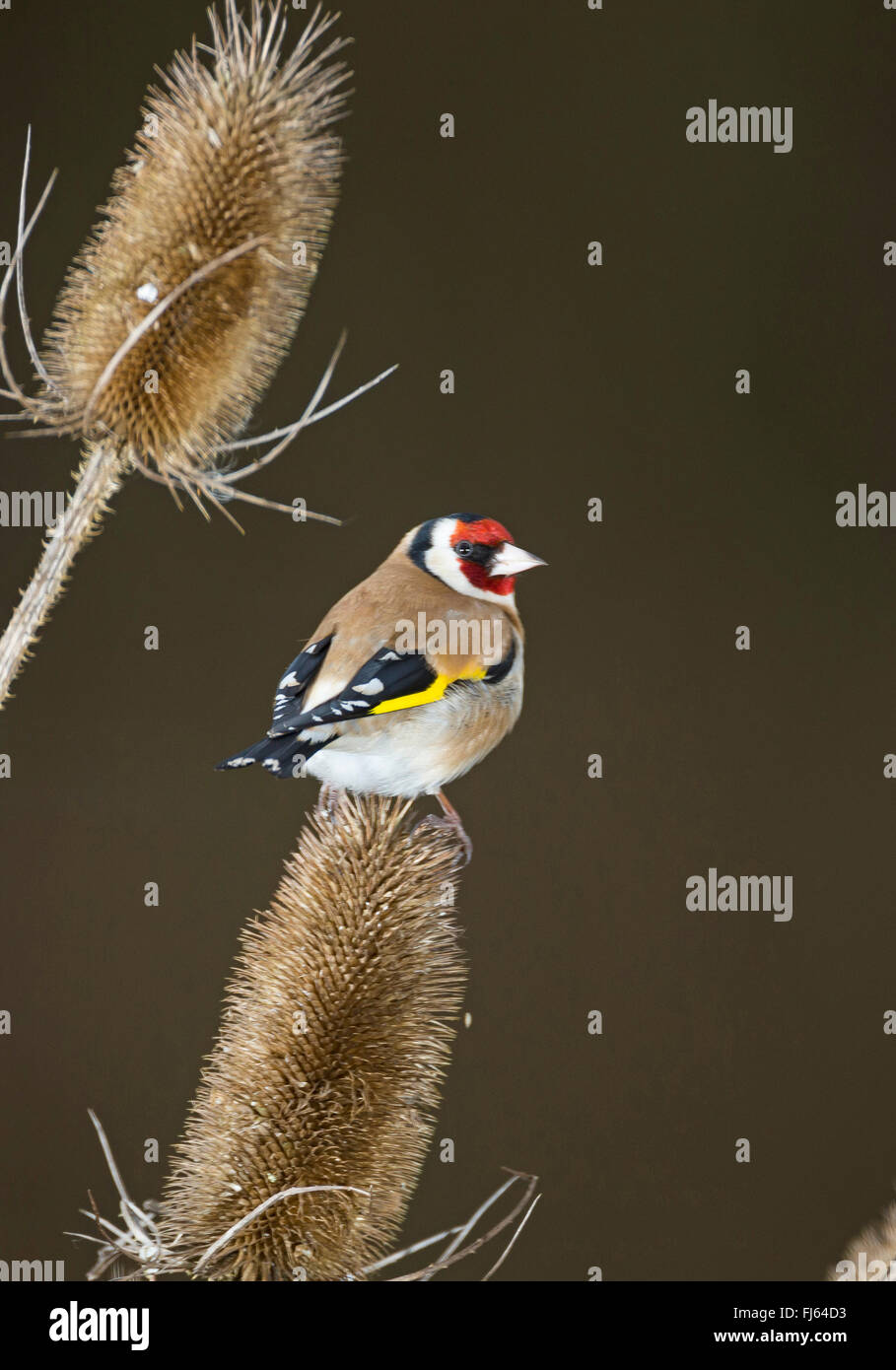 Eurasian goldfinch (Carduelis carduelis), sitting on infructescence of teazle, Germany Stock Photo