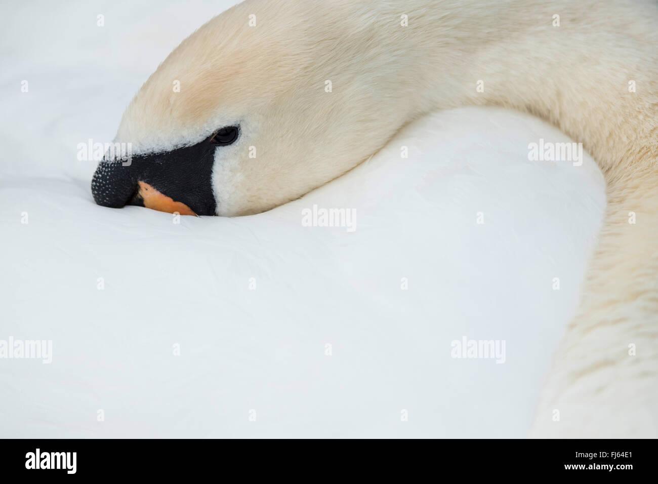 mute swan (Cygnus olor), head in its plumage, Germany - Stock Image