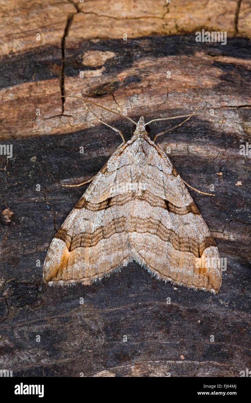 Treble-bar, St. John's Wort Inchworm (Aplocera spec., Anaitis spec., Aplocera plagiata oder Aplocera efformata), - Stock Image