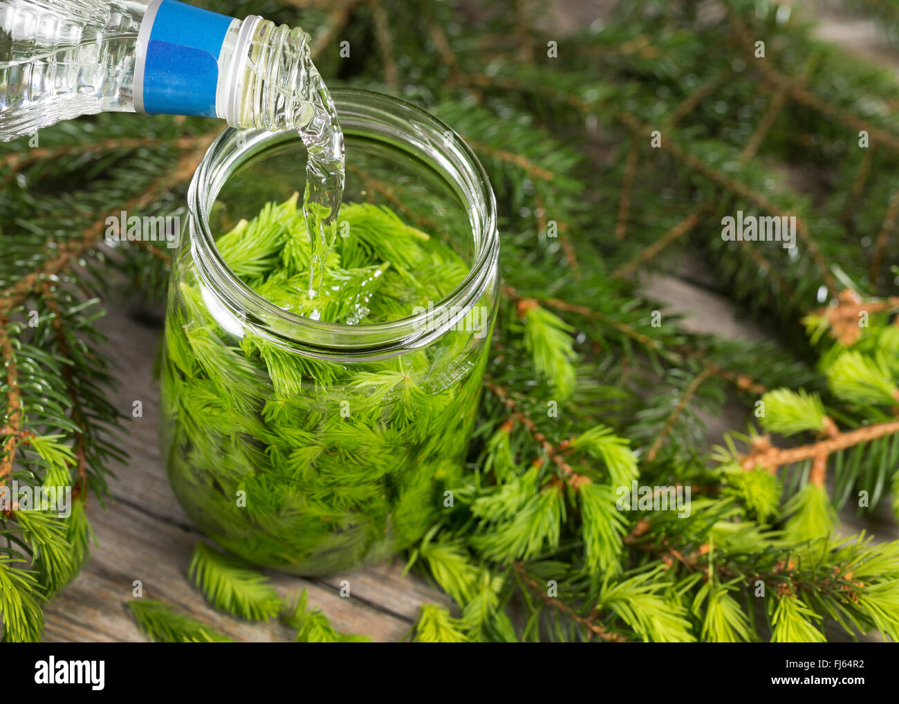 Norway spruce (Picea abies), jung sproots in a preserving jar, Germany - Stock Image