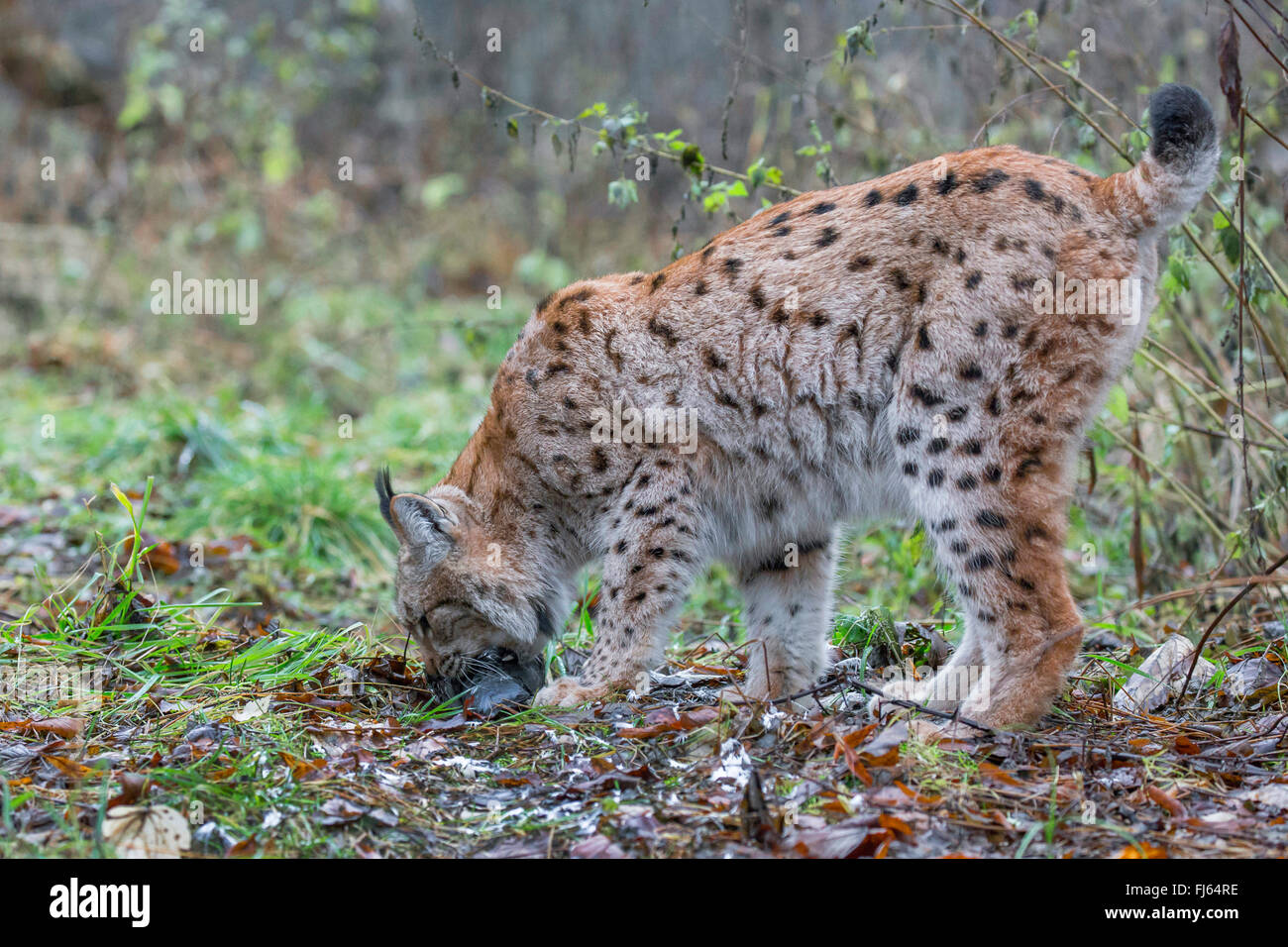 northern lynx (Lynx lynx lynx), grabs a caught dove with its mouth - Stock Image