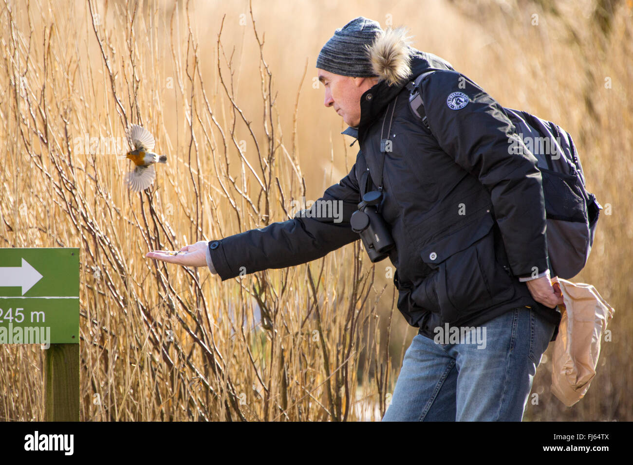 A man feeding a tame Robin out of his hand at RSPB Leighton Moss bird reserve, Silverdale, Lancshire, UK. - Stock Image