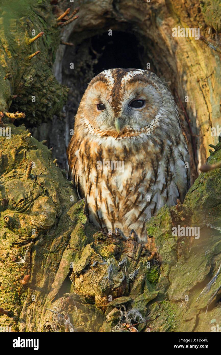 Eurasian tawny owl (Strix aluco), sits in a tree hole, Germany, North Rhine-Westphalia Stock Photo