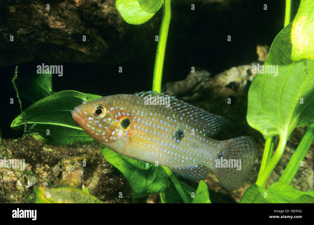 Blood Red Jewel Cichlid Hemichromis Lifalili Stock Photos & Blood ...