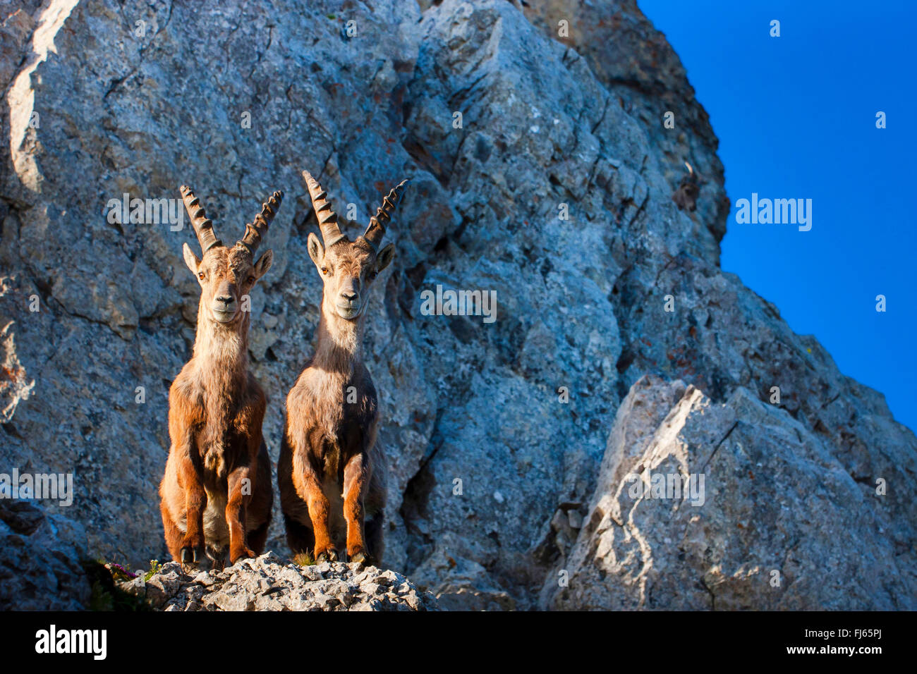 Alpine ibex (Capra ibex, Capra ibex ibex), two Alpine ibexes standing in morning light side by side on a cliff edge - Stock Image