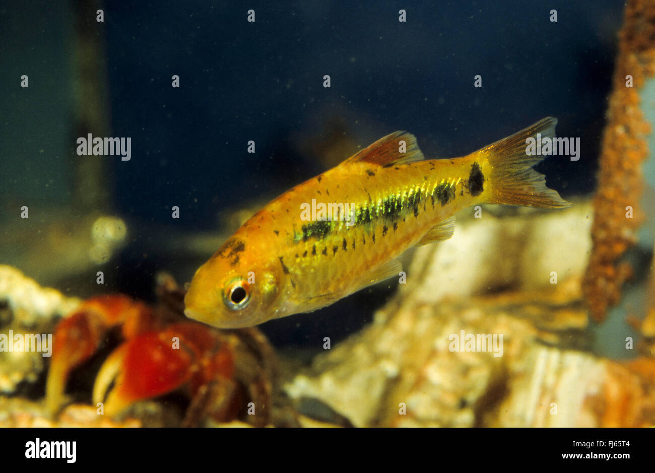 Green barb, China barb, Chinese barb (Barbodes semifasciolatus, Puntius semifasciolatus, Barbus semifasciolatus), Stock Photo
