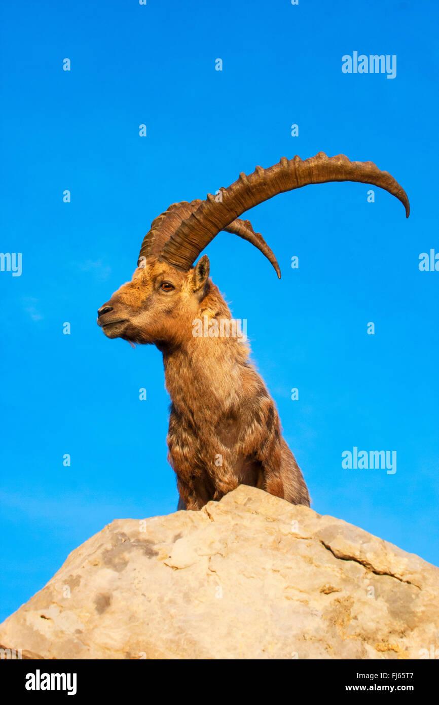 Alpine ibex (Capra ibex, Capra ibex ibex), in morning light on a rock in front of blue sky, Switzerland, Alpstein, - Stock Image