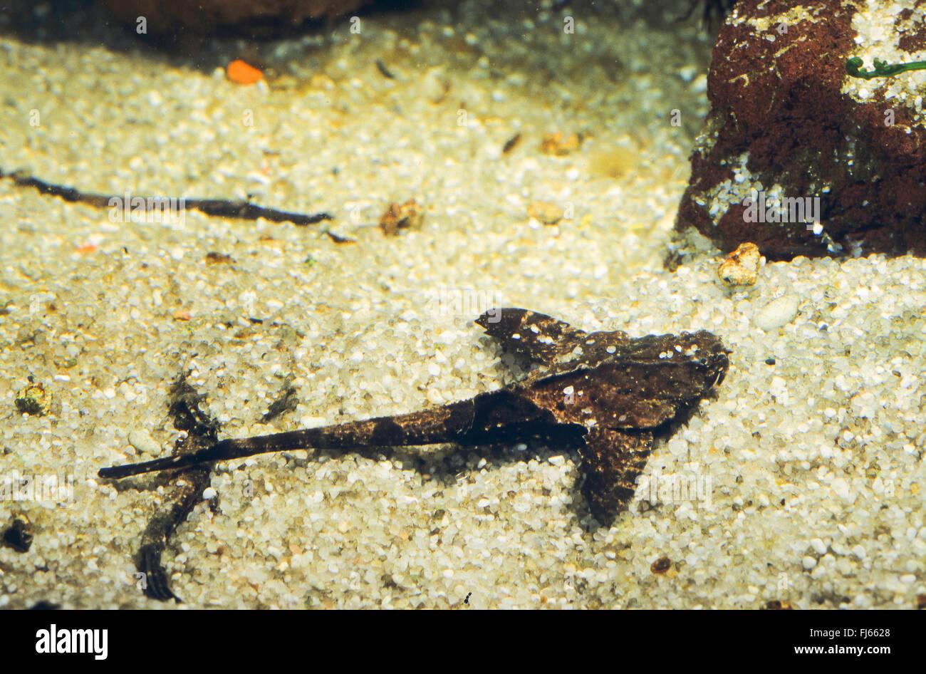 Banjo Catfish (Dysichthys coracoideus, Bunocephalus coracoideus, Bunocephalus bicolor, Dysichthys bicolor), rests - Stock Image