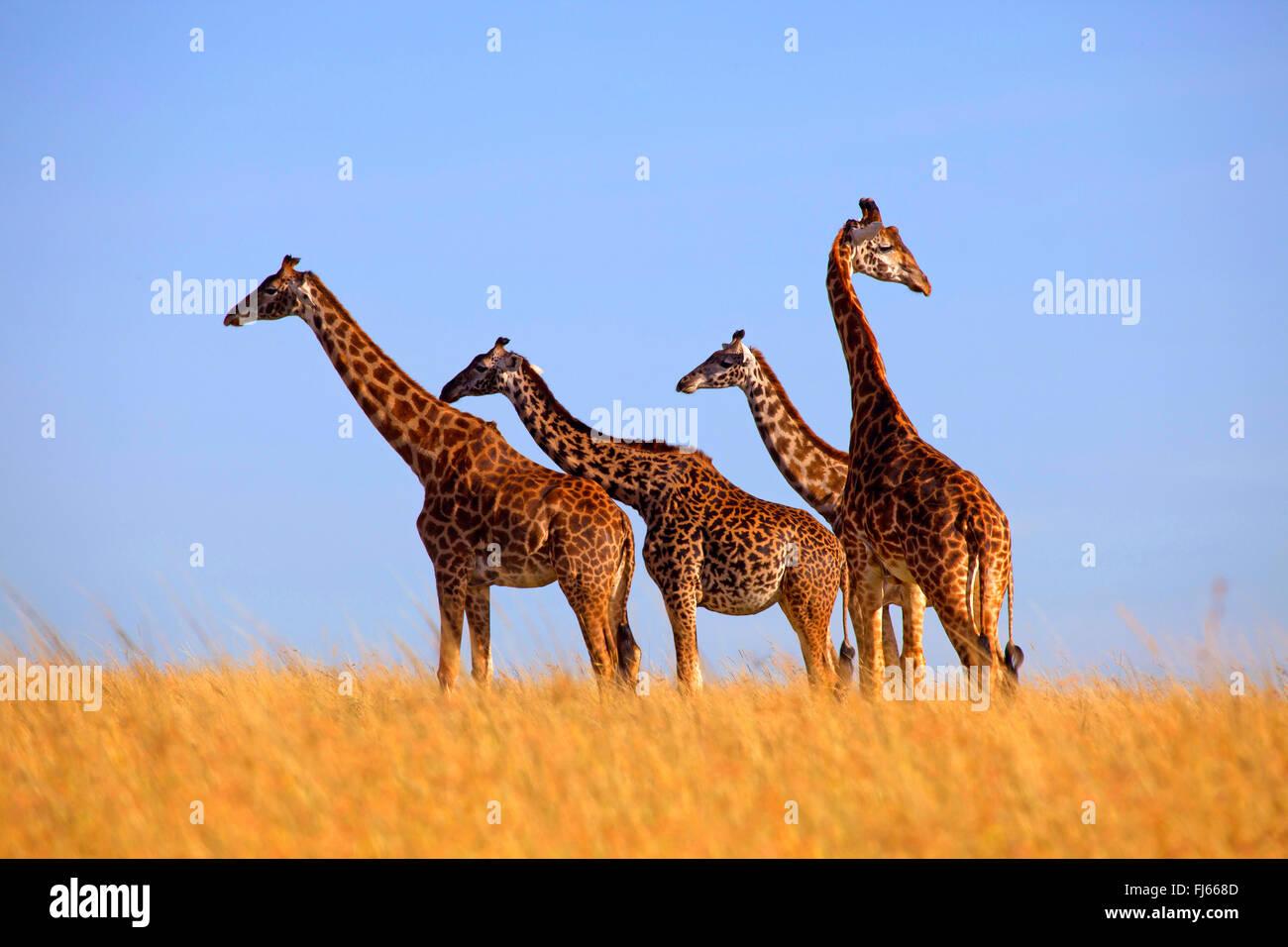 Masai giraffe (Giraffa camelopardalis tippelskirchi), four giraffes stand in savannah, Kenya, Masai Mara National - Stock Image