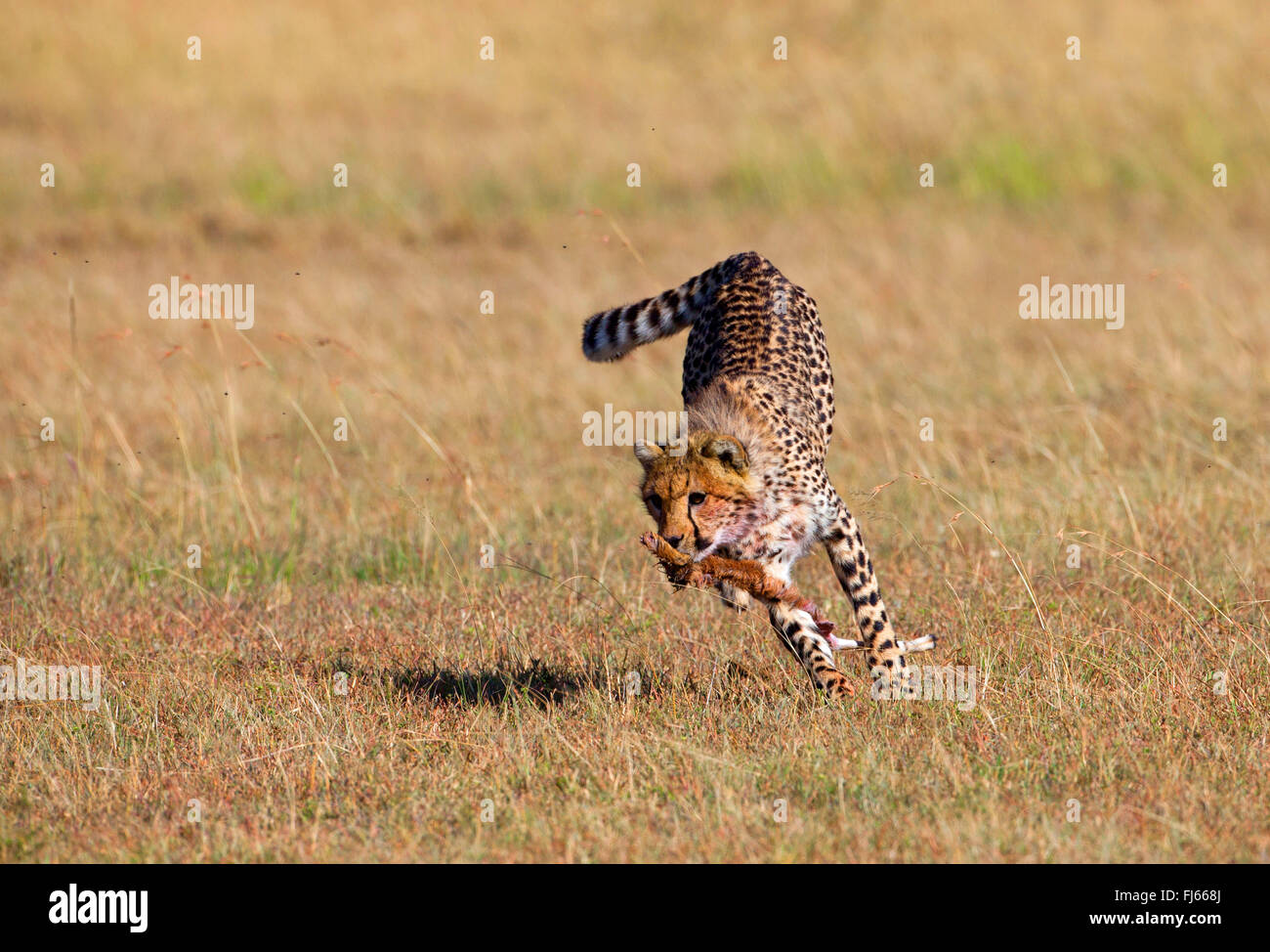 cheetah (Acinonyx jubatus), runs away with part of a cadaver in its mouth, Kenya, Masai Mara National Park - Stock Image