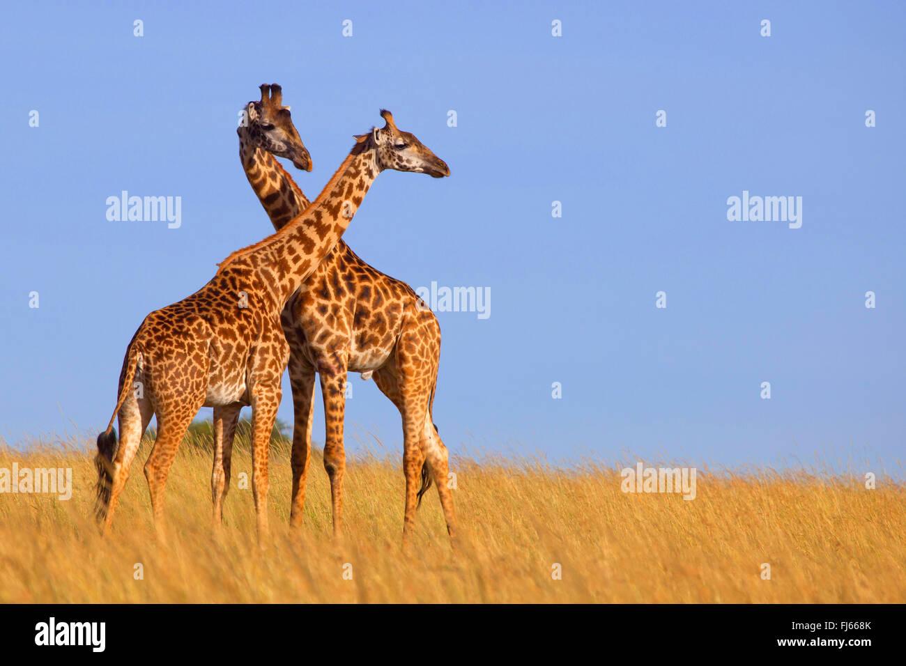 Masai giraffe (Giraffa camelopardalis tippelskirchi), two giraffes in savannah, Kenya, Masai Mara National Park - Stock Image
