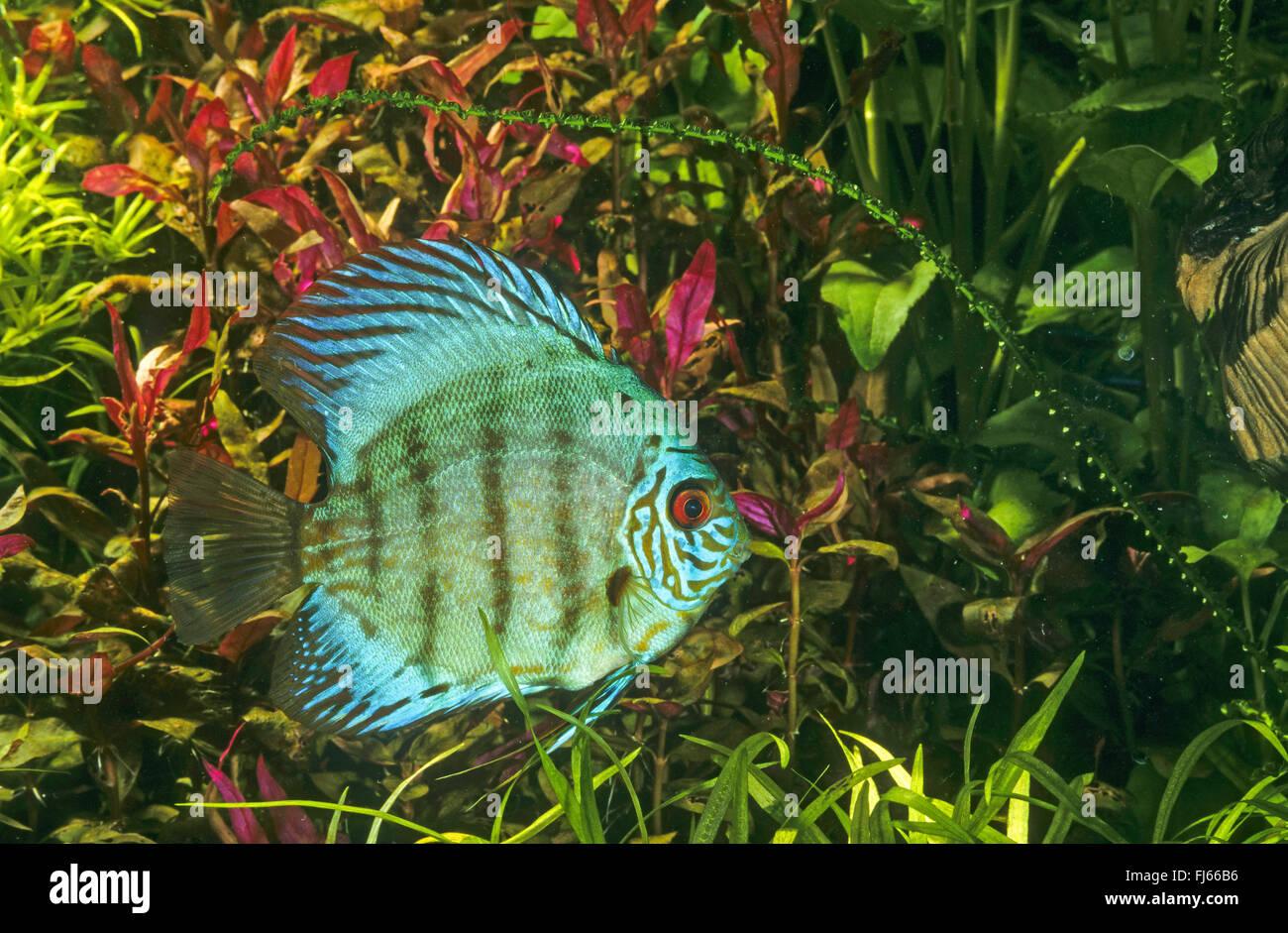 Blue discus, Pompadour fish (Symphysodon aequifasciatus, Symphysodon ...