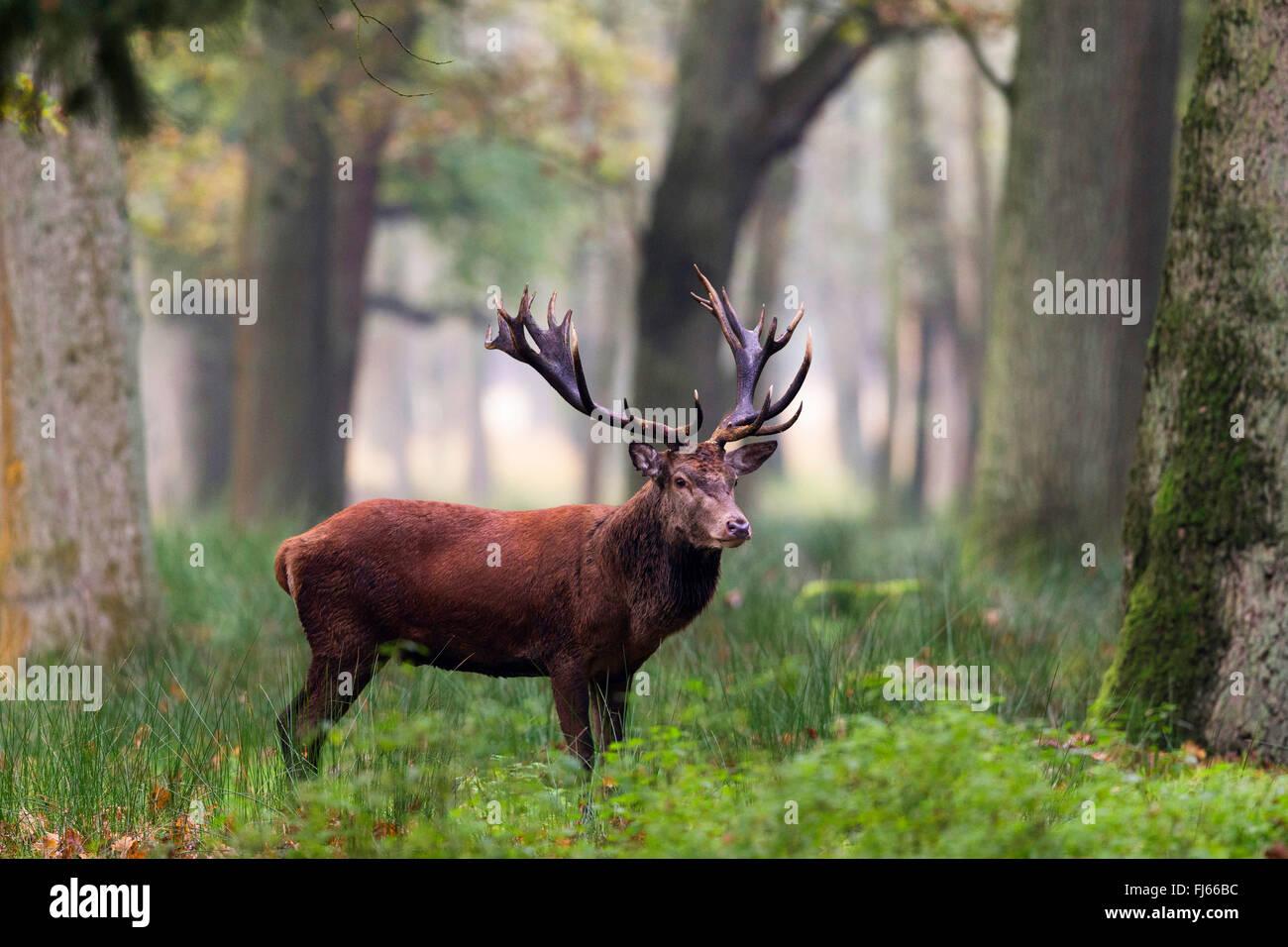red deer (Cervus elaphus), stag in forest, Germany, North Rhine-Westphalia - Stock Image