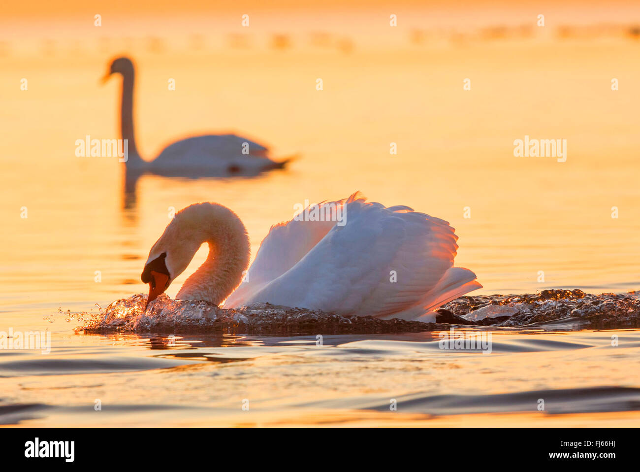mute swan (Cygnus olor), threatening male in the evening light, Germany, Bavaria, Lake Chiemsee Stock Photo